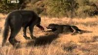 Prehistoric Predators: Dire Wolf