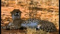 Stalking Leopards