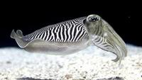 The Cuttlefish - Kings of Camouflage