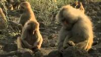 Living with Baboons