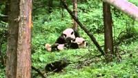 Pandas of the Sleeping Dragon