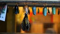 The Incredible Story of the Monarch Butterfly Four Wings and a Prayer