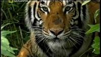 Last Maneater: Killer Tigers of India