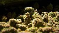 Super Weed