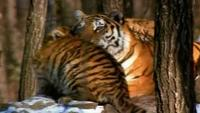 In the Shadow of the Tiger Watch Online