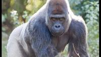 Mystery Gorilla