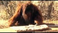 The Cleverest Ape In the World