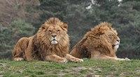 "Lions. The ""Vumbi"" Pride"