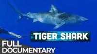 Tagging Tiger Sharks