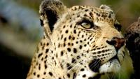 Leopard Queen: In The Eyes Of A Leopard